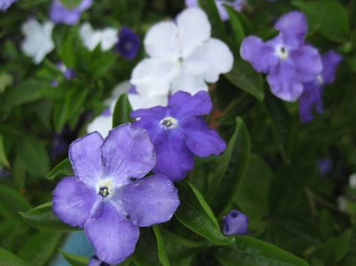 Brunfelsia australia