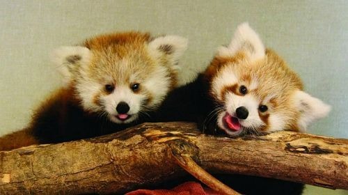 red panda babies at memphis zoo    lucille on the left (born at bronx zoo) and justin