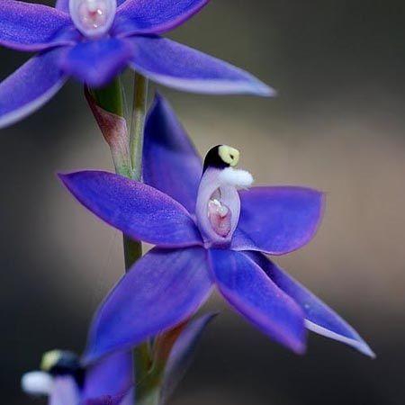 Plain Sun-Orchid (Thelymitra holmesii)