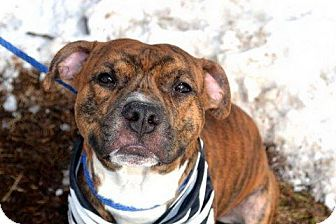 Staten Island, NY American Staffordshire Terrier/Boxer