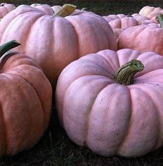 Minnesota Farmer Grows PINK Pumpkins to Raise Money for Breast Cancer
