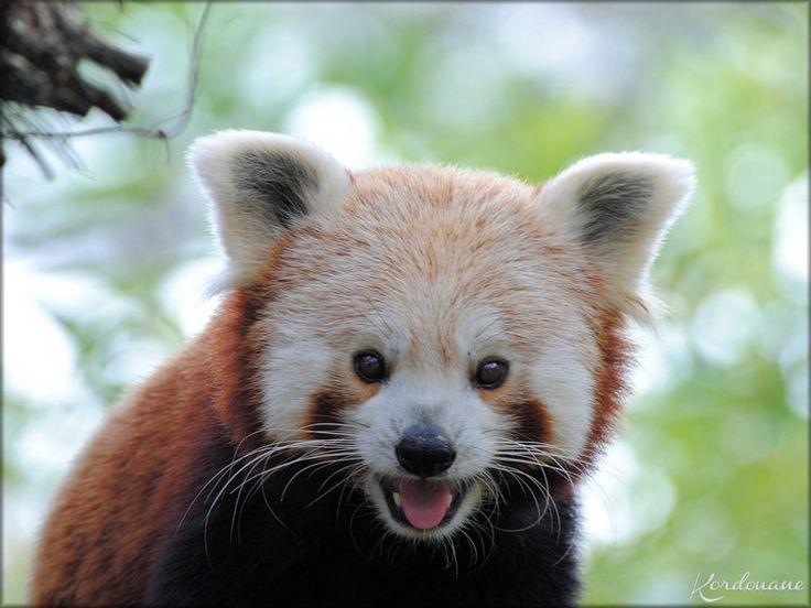 les 25 meilleures id es de la cat gorie pandas roux sur. Black Bedroom Furniture Sets. Home Design Ideas