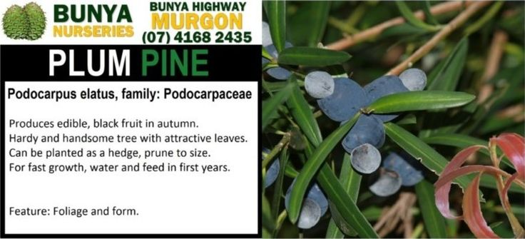 Plum Pine. Podocarpus elatus, Family: Podocarpaceae.  Produces edible, black fruit in Autumn. Hardy and handsome tree with attractive leaves. Can be planted as a hedge, prune to size. For fast growth, water and feed in first years.  Feature: Foliage and form.