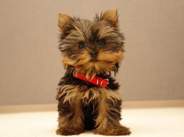 The 8 Secrets To Yorkie Puppy Training Good Doggies Online In 2020 Yorkshire Terrier Dog Teacup Yorkie Puppy Yorkie Puppy