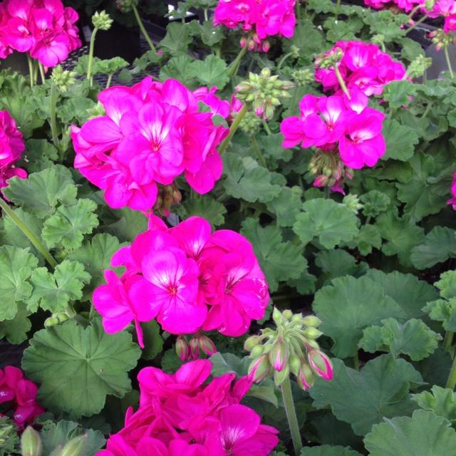 Types Of Geraniums: 17 Best Images About Geraniums On Pinterest