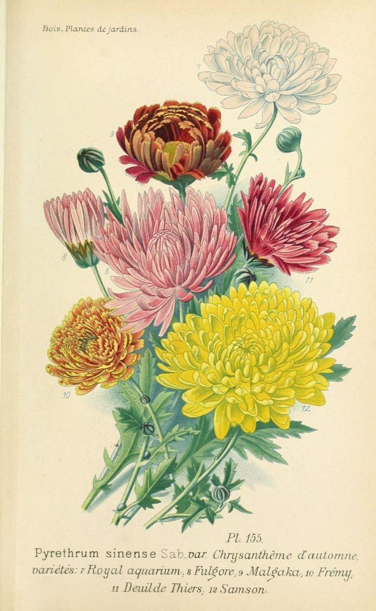Die besten 25 chrysantheme tattoo ideen auf pinterest - Chrysantheme entretien ...