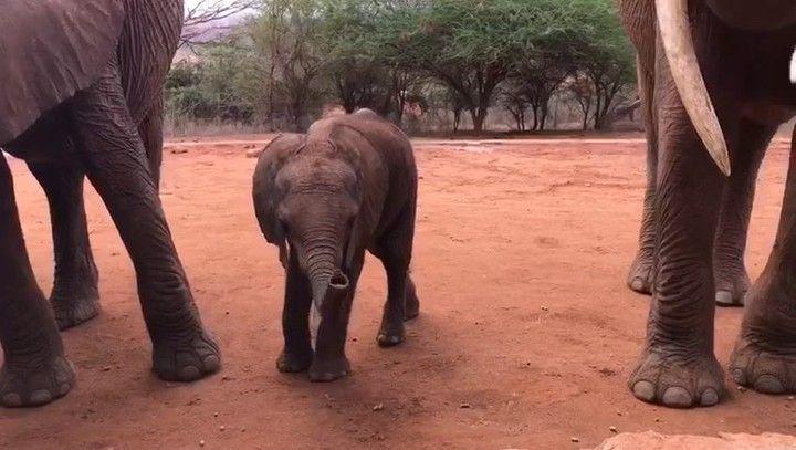 David Sheldrick Wildlife Trust (@dswt) on Instagram: Video © David Sheldrick Wildlife Trust   #DSWT #Ndara #NdaraDSWT #Neptune #NeptuneDSWT #voi #voireintegrationunit #tsavo #tsavonationalpark #whyilovekenya #kenya #africa #magicalkenya #savetheelephants #saynotopoaching #racingextinction #jointheherd #DSWTat40 #worthmorealive #antipoaching #ivorybelongstoelephants