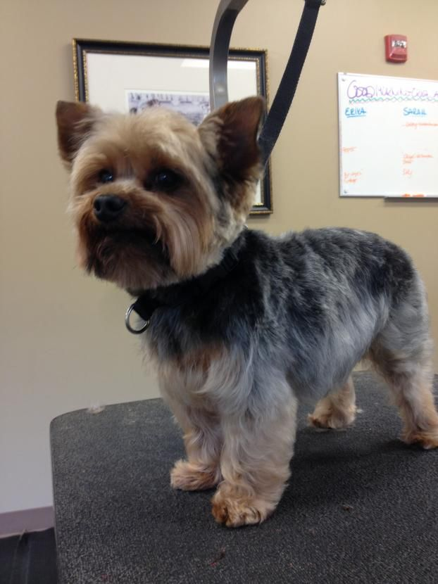 8 Best Yorkie Images On Pinterest Yorkie Yorkies And Yorkshire
