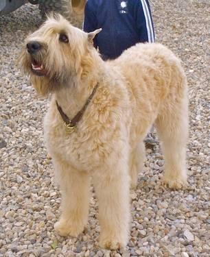... Pinterest | Scottish terrier puppy, Scottish terriers and Scottie dogs