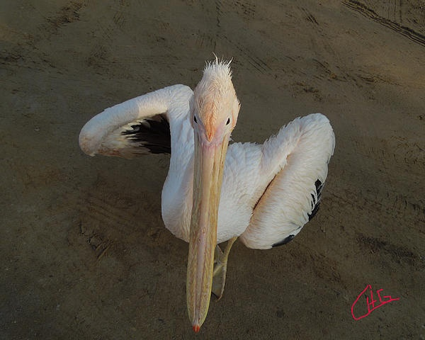 Ready for Dance Pelican ask me, Sinai Egypt 2012 Photography Colette H Guggenheim
