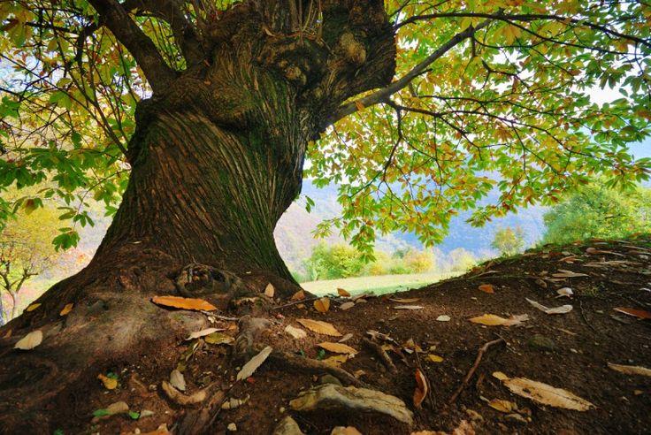 """Il Castagno Con il cipresso, l'olivo, la quercia, il pino e l'abete, il castagno è una delle piante che meglio rappresenta il paesaggio toscano ed è sicuramente ai vertici con l'olivo per il contributo sociale ed economico che ha apportato…  Conosciuto da molti come """"Albero del Pane"""" ha sfamato intere generazioni montane in tempi di crisi, guerre e carestie. Grazie al suo frutto e all'ingegno toscano sono nati prodotti unici e caratteristici per lo più ignoti nel resto d'Italia, come la…"""