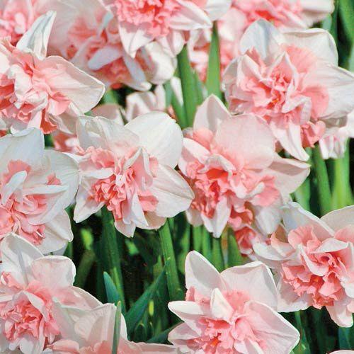 Delnashaugh Daffodil Super Sak®