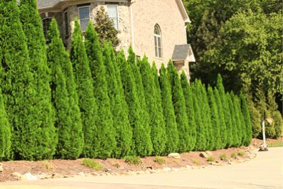 Best Choice for a Space-Saving Evergreen Hedge... Only 4 ft. Wide! - • Resists ice or snow damage • Drought tolerant, once established • Super easy to grow • Requires no Pruning • Adapts to many soils and climates      The Emerald Green Thuja exhibits excellent growth in any yard from Minnesota to southern Georgia and beyond. There...