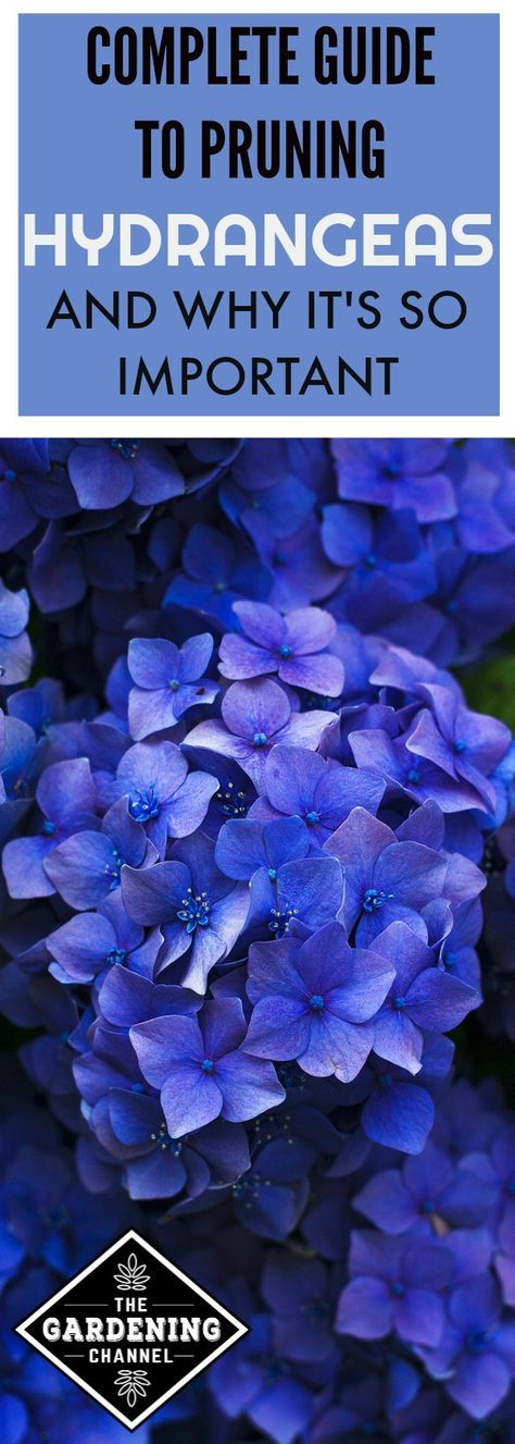 Pruning hydrangeas is important to ensure that they reach their full potential next year. Learn how and when to prune the hydrangeas in your garden.
