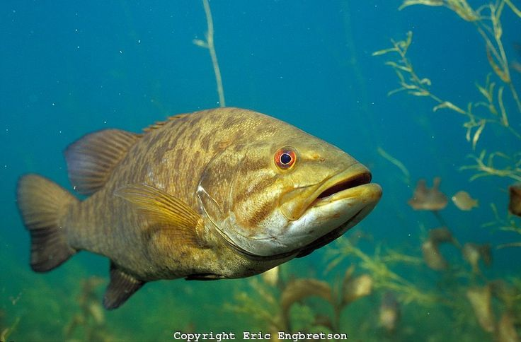 131 best smallmouth bass images on pinterest the fly for When is the best time to fish for bass