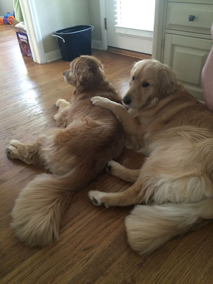 golden-retrievers: Ellie and Finn