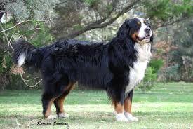 Resultado de imagen para perros pastor de berna