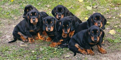 For The Love Of Doxies: Meet the Tatra Hound!