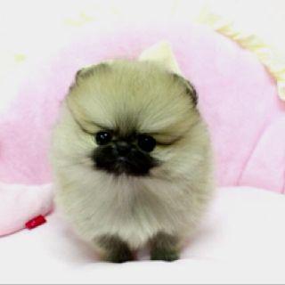 Micro Tea Cup Pomeranian