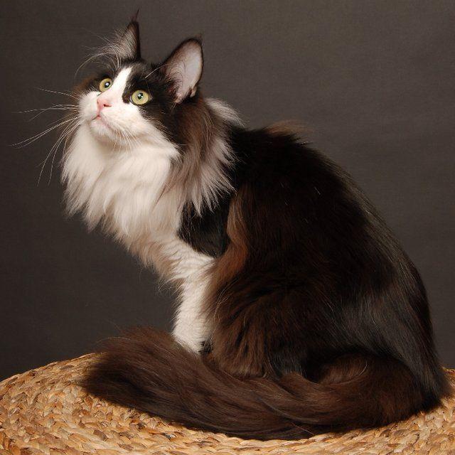 L'ANGORA TURC est un chat vif et intelligent. Retrouvez l'élevage de LA MOSQUÉE BLEUE sur notre site Éleveurs & Pedigree.
