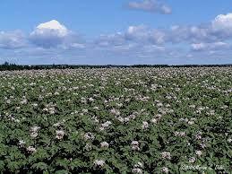 """Résultat de recherche d'images pour """"photo champ de pomme de terre"""""""