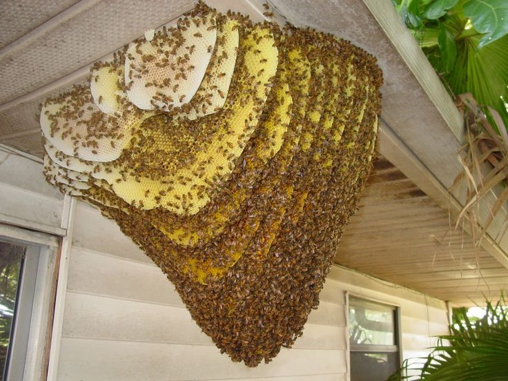 honey bee hive removal: Learn what are 6 simple steps to remove honey bee hive and avoid bee sting. Do it slowly and with minimum movement to save yourself.