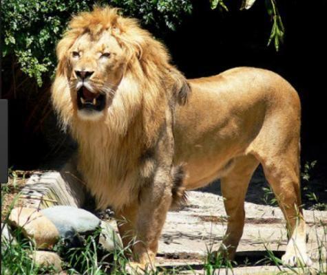 Singa Raja Hutan Yang Baik Hati
