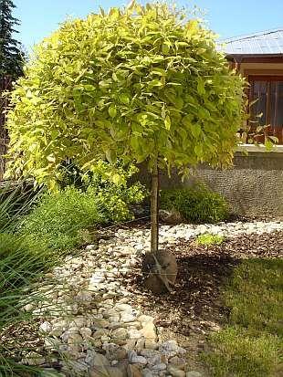 Stromy pre malé záhrady