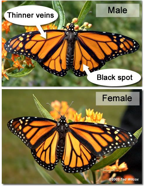 an understanding of monarchy The monarch butterfly  brower, lp 1995 understanding and misunderstanding the migration of the monarch butterfly  monarch nectar plant list for the southern .