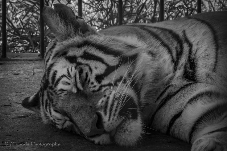 Resting tiger - The tiger is the largest cat species, most recognisable for their pattern of dark vertical stripes on reddish-orange fur with a lighter underside. The species is classified in the genus Panthera with the lion, leopard, jaguar and snow leopard.