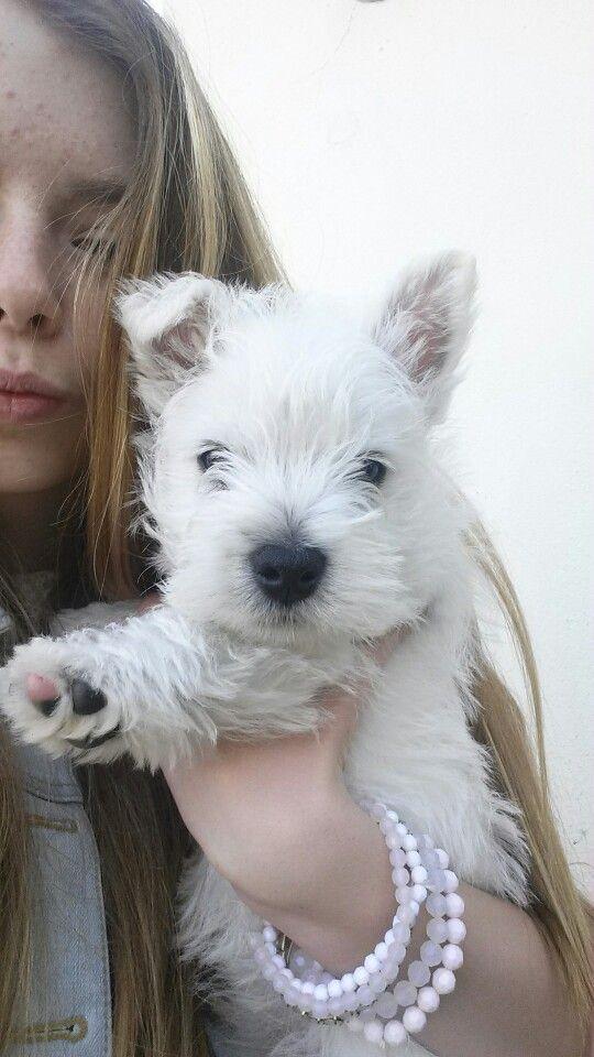 westland terrier #cutiecharlie