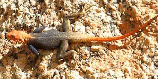 Rock Agama Kruger National Park National Parks Kruger National Park Reptiles