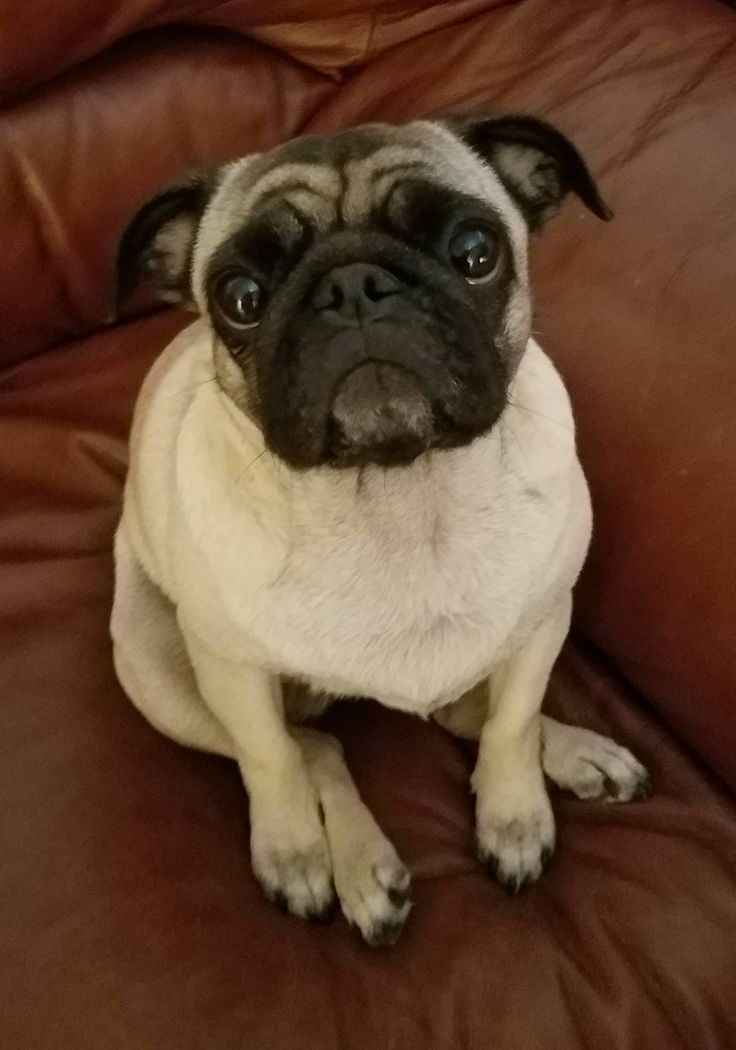 """Pancakes has the """"cute puppy dog eyes"""" routine down to a science and she's not afraid to use it! http://ift.tt/2sj2m4b"""