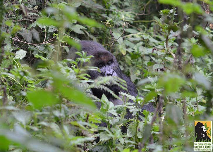 Esta madre gorila está MUY orgullosa de sus perfectos gemelos recién nacidos