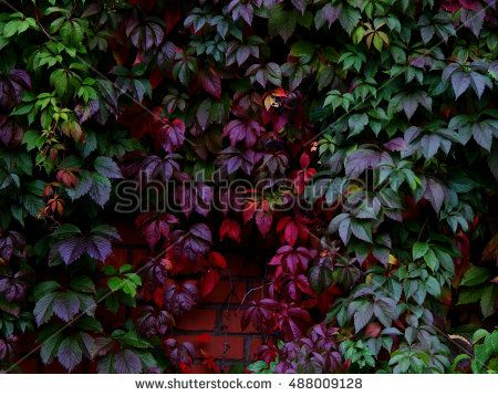 Garden wild grapes with autumn leaves on a brick wall
