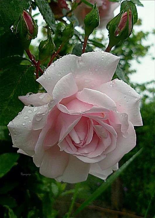 die besten 25 englische rosen ideen auf pinterest blumen rosen strau rosen und farn. Black Bedroom Furniture Sets. Home Design Ideas