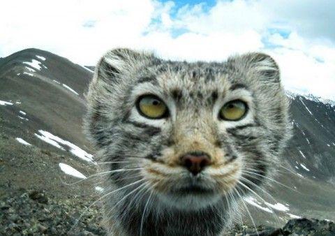 Алтайский кот манул покорил интернет