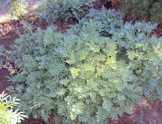 Ajenjo-–-Artemisia-absinthium.jpg (564×430)