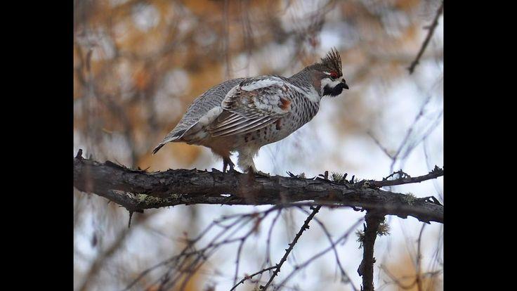 Охота на боровую дичь(hunting for grouse)