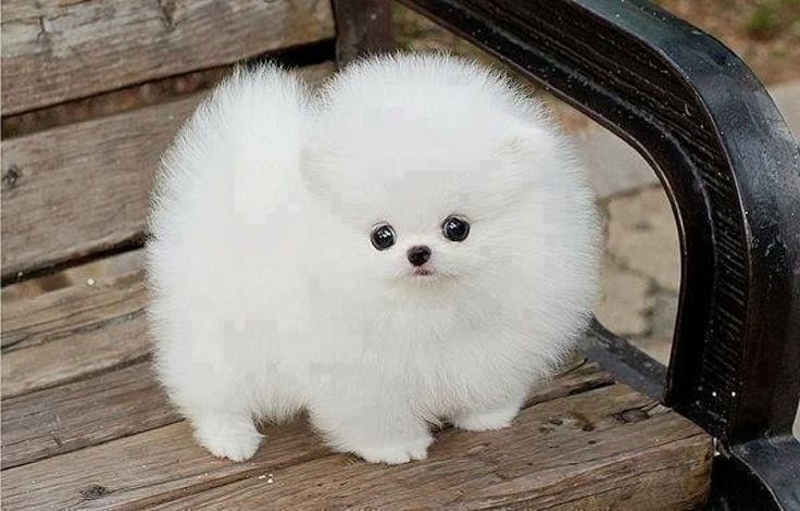 5 fluffiest puppies you have ever seen, cute little fluffy ball :)