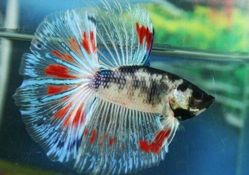 Halfmoon beautiful fancy koi style betta tank for Fancy koi fish
