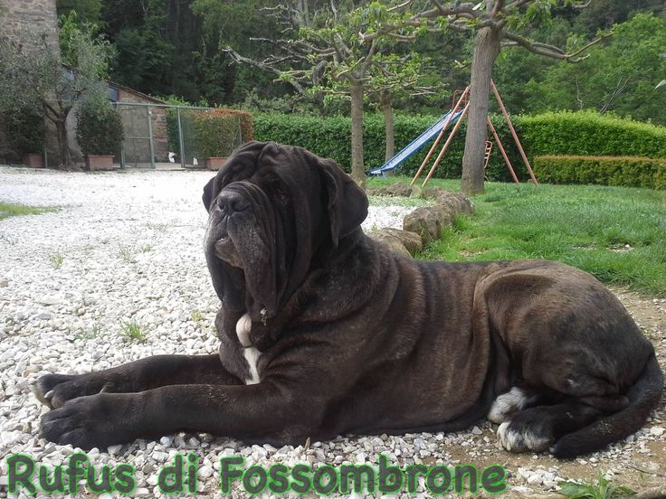 Rufus di Fossombrone - proprietà: Angelo Dolfi #MastinoNapoletano #NeapolitanMastiff #MatindeNaples #DiFossombrone