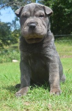 Litter of 9 Chinese Shar-Pei puppies for sale in MILBURN, OK. ADN-42339 on PuppyFinder.com Gender: Female. Age: 9 Weeks Old