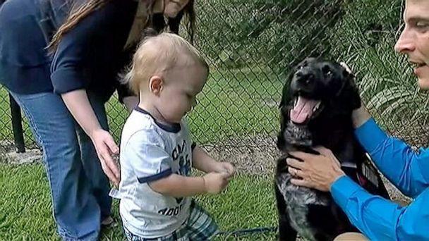 А это Киллиан – пёс, который спас ребёнка от жестокой няни. Всё началось с того, что родители Финна заметили странное поведение собаки в присутствии няни. Животное начинало лаять на неё, становясь при этом в защитную позу и тем самым как бы ограждая ребёнка. Они решили узнать, что же всё-таки происходит и установили записывающее устройство. На записях родители услышали ненормативную лексику, а также звуки шлепков, причем всё это происходило на фоне громкого плача их семимесячного сына