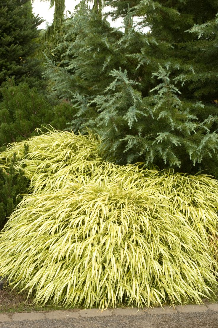 17 best images about plants for fall on pinterest for Japanese grass
