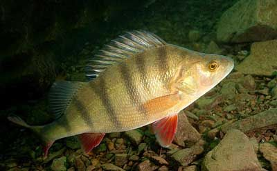 22 best images about fishing on pinterest bucket light for Yellow perch fishing secrets