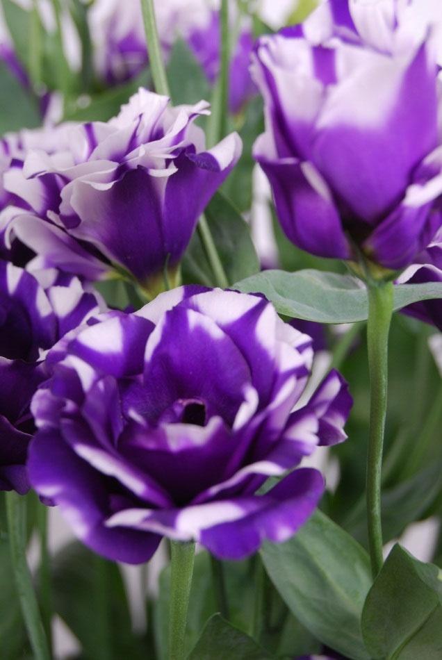 Lisianthus Fleur Elise Blue Beautiful flowers, Beautiful