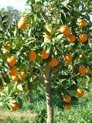 Ravishing  Best Images About My Garden On Pinterest  Trees Las Cruces  With Licious Blood Orange Tree  Blood Orange Trees Bear Fruit In December With Attractive The Garden Route South Africa Also Stanhope Gardens London In Addition Wide Garden Arches And Tree Decorations For Garden As Well As Victorian Garden Ornaments Additionally Circular Garden Table From Pinterestcom With   Licious  Best Images About My Garden On Pinterest  Trees Las Cruces  With Attractive Blood Orange Tree  Blood Orange Trees Bear Fruit In December And Ravishing The Garden Route South Africa Also Stanhope Gardens London In Addition Wide Garden Arches From Pinterestcom