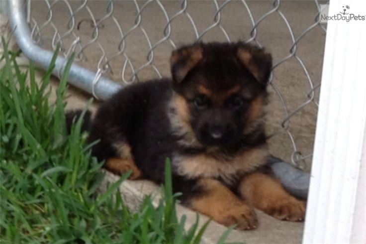 German Shepherd Puppies for Sale Call (786) 271-0118