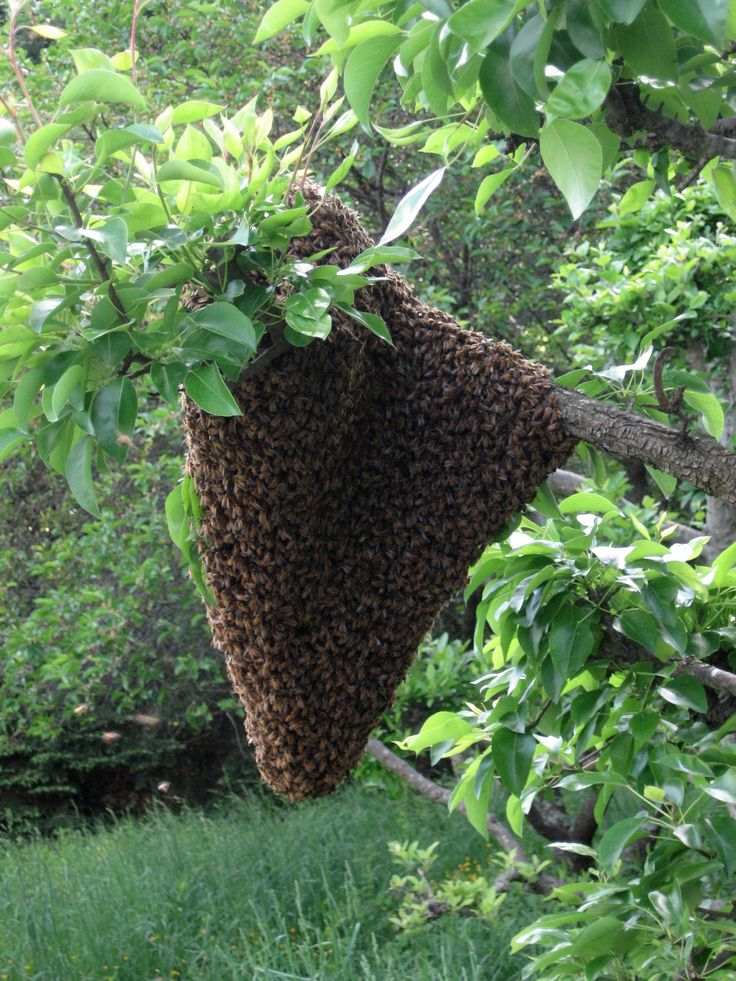 tips on bee swarms
